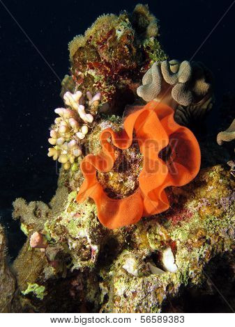 Spanish Dancer eggs