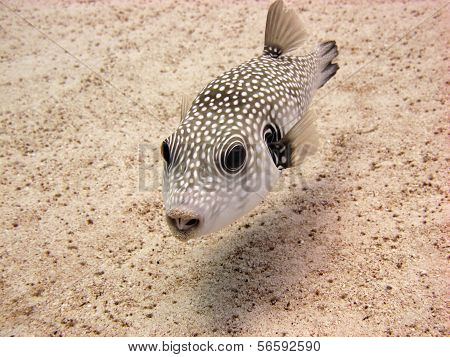Whitespotted puffer