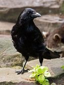 stock photo of caw  - A Black Crow standing on rocks and plant - JPG