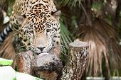 Постер, плакат: Jaguar Eating A Treat