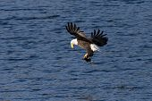 image of fish-eagle  - A bald eagle adjust the fish after it makes the catch.