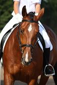 picture of saddle-horse  - Beautiful sport horse portrait during dressage test in summer - JPG