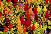 Mixture Of Brightly Colored Cock's Comb Plants In Bloom