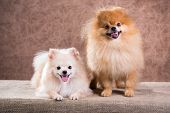 stock photo of pomeranian  - Portrait two Pomeranian dog on a abstract background - JPG