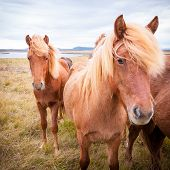 picture of iceland farm  - The Icelandic horse is a breed of horse developed in Iceland - JPG
