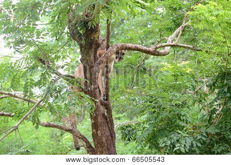 Puma Eating Meat On Tree