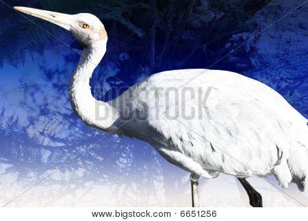 Brolga bird in Victoria, Australia