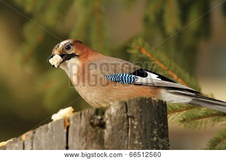 Hungry Jay Eating Bread