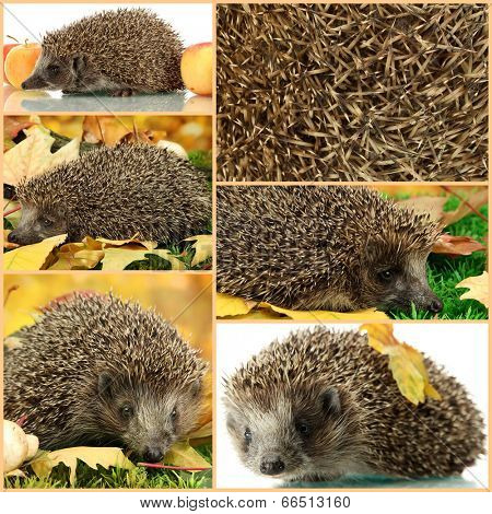 Collage of cute hedgehog