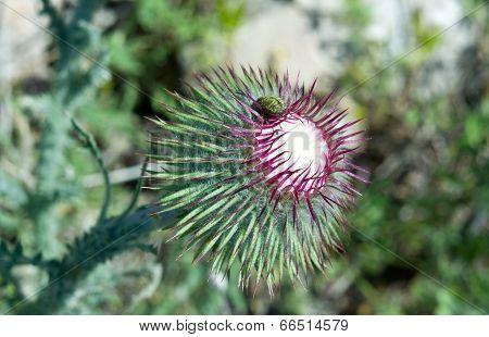 Bur Thorny Flower