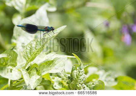 Banded Demoiselle   (calopteryx Splendens)