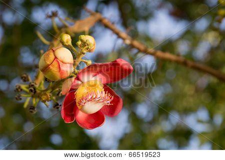 Cannonball tree flowers (Couroupita guianensis)