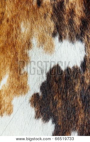 close up of cowhide background