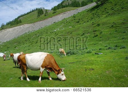 Russian Altai mountain view with grazing cows