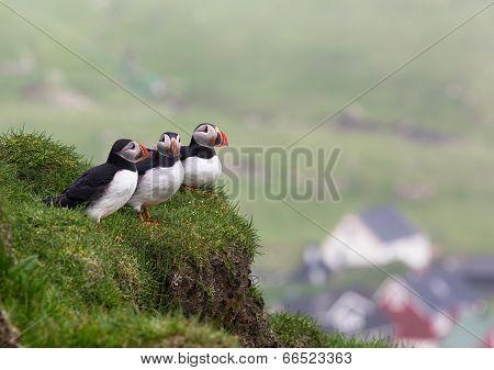Puffins. Fratercula arctica.
