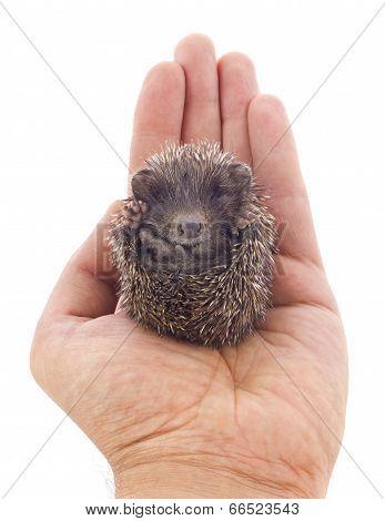 Hedgehog Baby On Palm