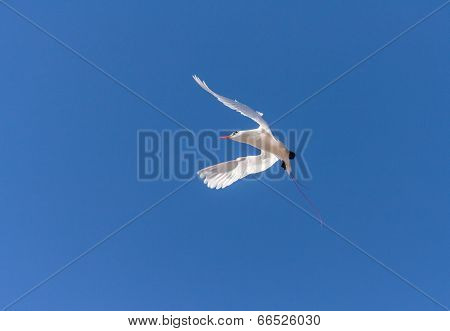Red billed tropic bird flying