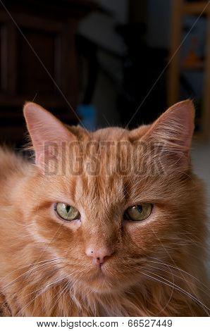 Portrait Of Orange Cat Looking At Viewer