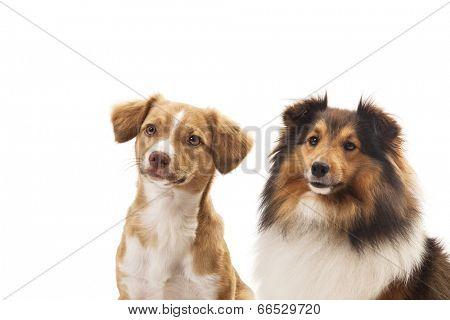 Mixeded breed dog and shetland sheepdog