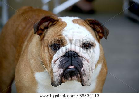 Red and White Bulldog