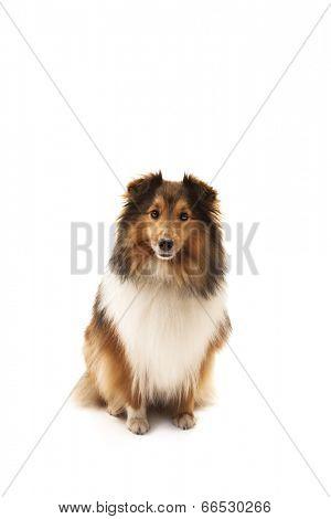 Portrait of Shetland sheepdog over white background