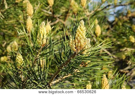 Blossoming Of A Pine Ordinary.