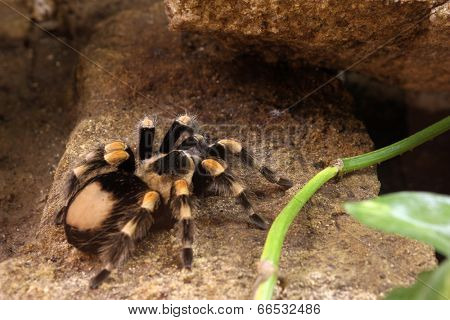 Spider under a ledge (lat. Brachypelma Smithi) (shalow dof)