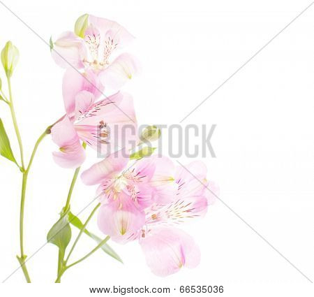 Dainty  rosy  flowers isolated on white  background.  Alstroemeria
