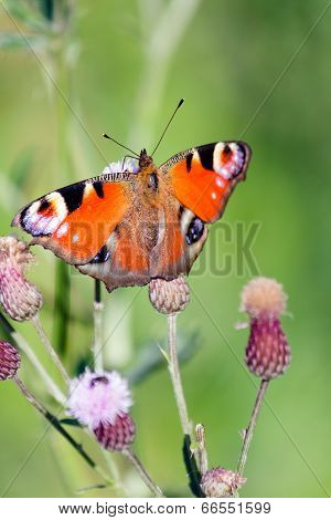 Peacock Butterfly On A Thistle Flower