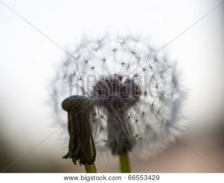 Two Dandelion Flowers: Without Seeds And With Globular Head Of Seeds