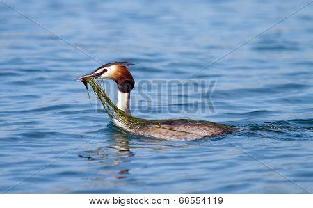 Crested grebe (podiceps cristatus) duck