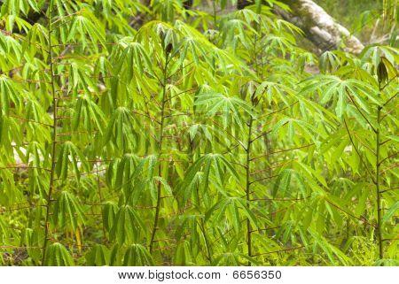 Manioka Plantage
