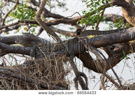Monitor Lizard camouflaged hidden over branch