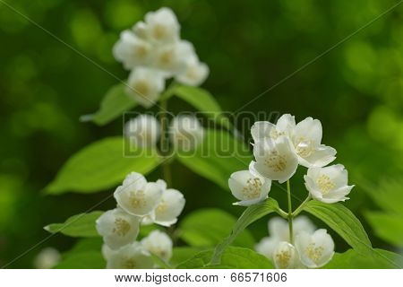 Beautiful Jasmine White Flowers