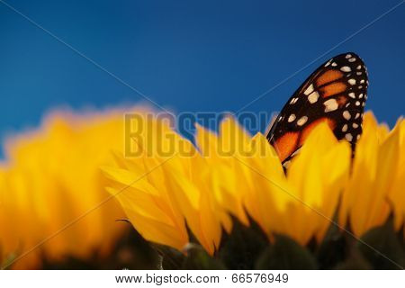 Monarch butterfly in sunflower flower. Macro closeup, shallow DOF.