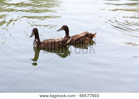 Two Duck In Water