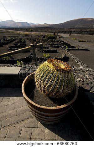 Cactus Wall Grapes