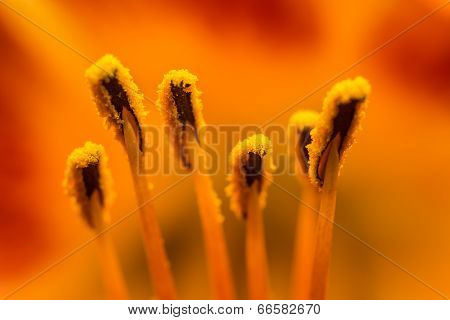 Orange Lilium Pistil Nectar