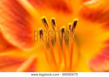 Orange Lilium Pistil Nectar