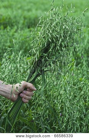 farmer holding a of oat bunch close up in summer sunny day