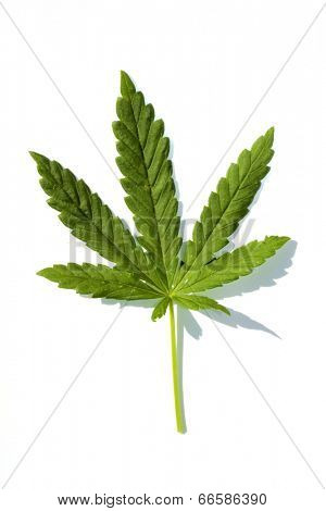 Medical Marijuana leaf isolated on white with room for your text. Medical Marijuana is now legal in many states and countries. A very useful medicinal and industrial plant in many industries.