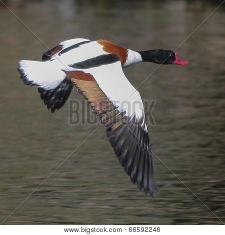Wild Goose Flying (tadorna Tadorna)