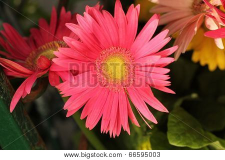 pink gerbera daisy in partial shade