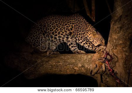 Hungry Leopard Eat Dead Prey In Tree At Night