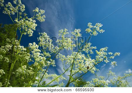 Summer Background With Cow Parsley