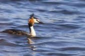 stock photo of grebe  - Great crested grebe  - JPG