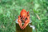 foto of crawfish  - Red crawfish with beer on green grass - JPG
