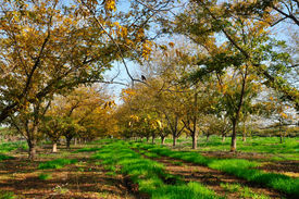 image of pecan tree  - Grove the pecan is a large deciduous tree - JPG