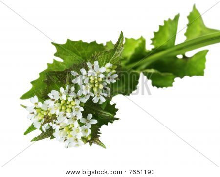 Garlic Mustard Wildflower