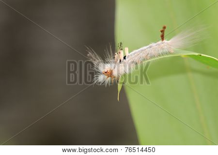 Caterpillar butterfly,closeup
